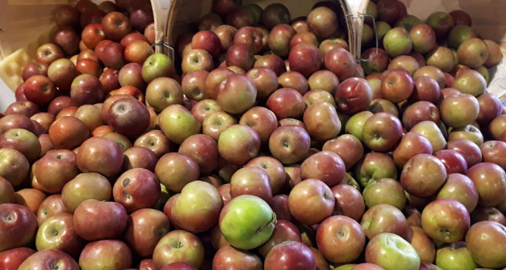 apples are a great unit for kindergarten when learning at home
